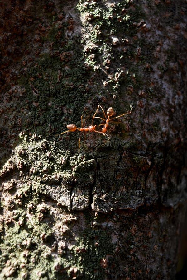 红色蚂蚁殖民地互相遇见在树干 免版税库存照片