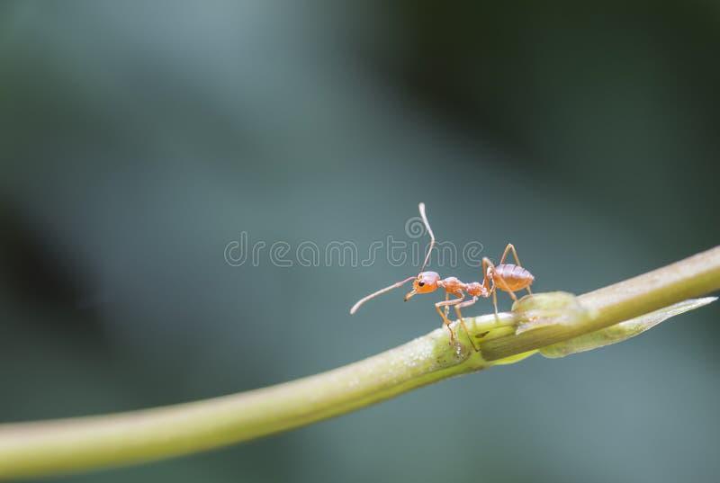 红色蚂蚁,宏指令,垂悬在绿色藤,选择聚焦 免版税库存图片