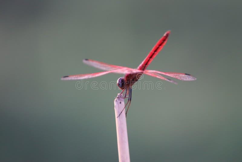 红色蜻蜓 免版税图库摄影