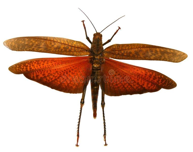 红色蝗虫 库存图片