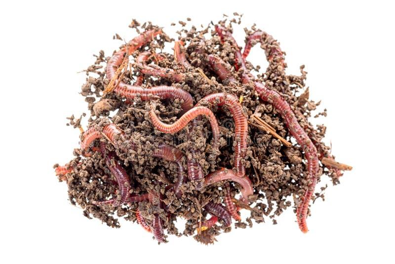 红色蠕虫Dendrobena宏观射击在肥料,在白色背景钓鱼的蚯蚓活诱饵的隔绝的 免版税库存照片