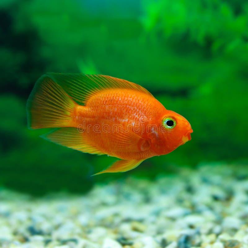 红色血液鹦鹉丽鱼科鱼在水族馆植物绿色背景中 滑稽的橙色五颜六色的鱼-爱好概念 库存照片