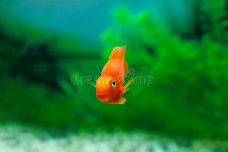 红色血液鹦鹉丽鱼科鱼在水族馆植物绿色背景中 金鱼,滑稽的橙色五颜六色的鱼-爱好概念 库存图片