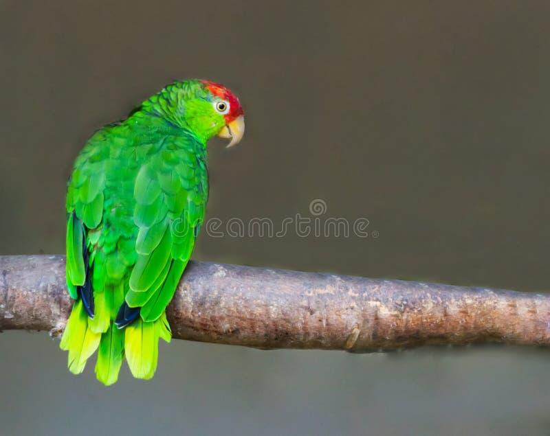 红色被加冠的亚马逊鹦鹉坐分支,从墨西哥的一个危险的鸟硬币 免版税库存图片