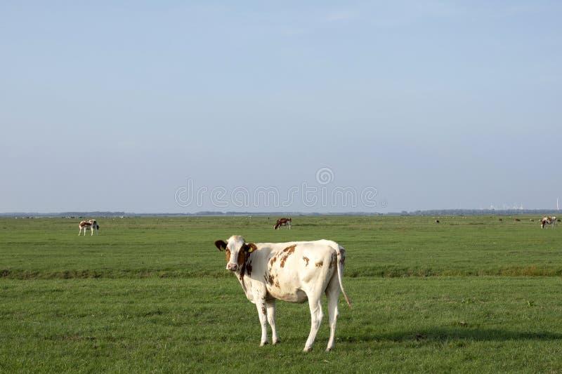 红色被察觉的母牛在一个浩大的牧场地中间回顾,距离的平的天际和天空蔚蓝 免版税图库摄影