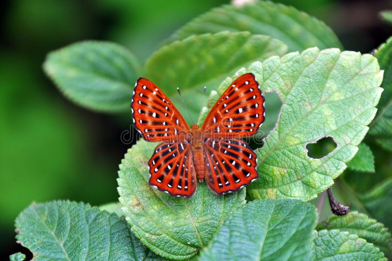 红色被察觉的蝴蝶 免版税库存图片