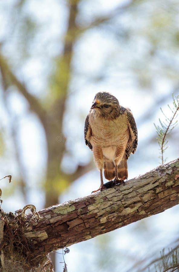 红色被担负的鹰鵟鸟lineatus寻找牺牲者并且吃 免版税库存照片