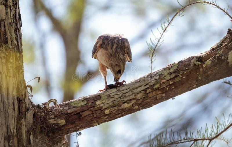 红色被担负的鹰鵟鸟lineatus寻找牺牲者并且吃 库存照片