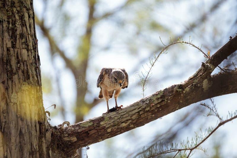 红色被担负的鹰鵟鸟lineatus寻找牺牲者并且吃 库存图片