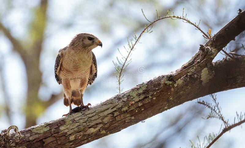 红色被担负的鹰鵟鸟lineatus寻找牺牲者并且吃 免版税图库摄影