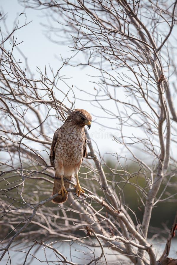 红色被担负的鹰鵟鸟lineatus 免版税库存照片