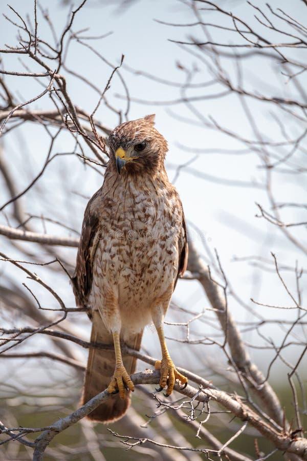 红色被担负的鹰鵟鸟lineatus 免版税库存图片