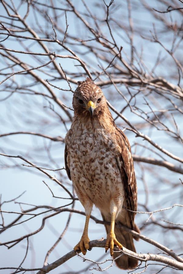 红色被担负的鹰鵟鸟lineatus 库存图片