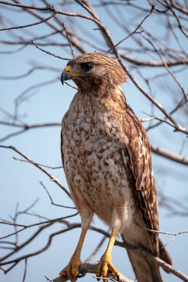 红色被担负的鹰鵟鸟lineatus 图库摄影