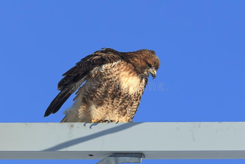 红色被盯梢的鹰侧视图  免版税库存图片