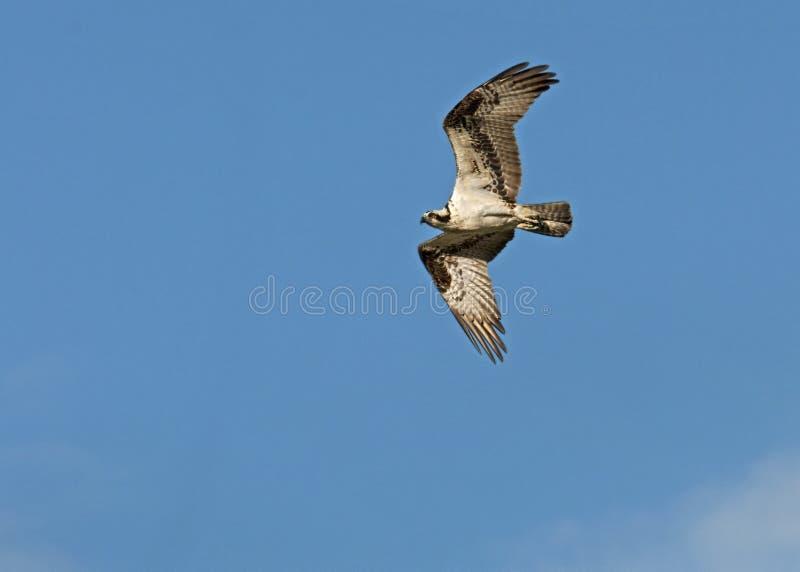 红色被盯梢的鹰飞行反对清楚的蓝天 库存照片