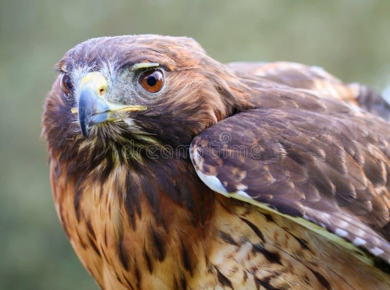 红色被盯梢的鹰-特写镜头画象 图库摄影