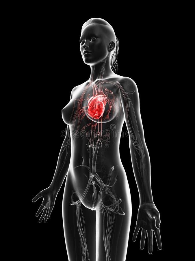 红色被突出的女性的心脏 皇族释放例证