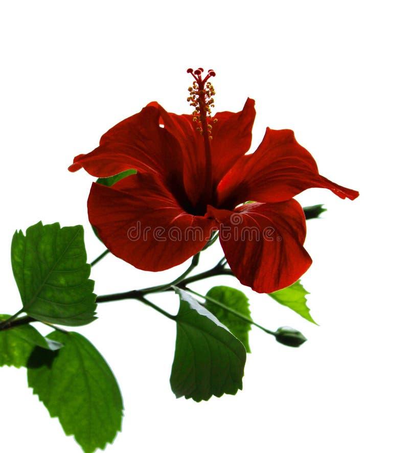 红色被隔绝的开放花中国木槿(木槿罗莎sinensis) 库存照片