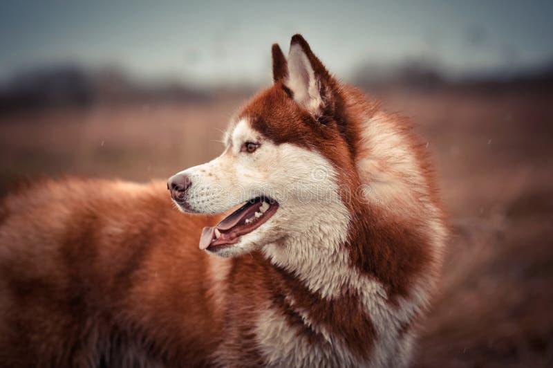 红色西伯利亚爱斯基摩人狗外形画象 免版税库存照片