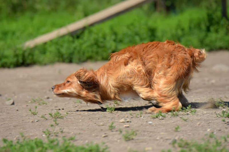 红色西班牙猎狗迅速跑 图库摄影