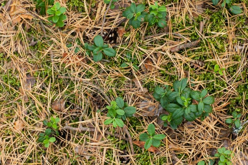红色越橘和青苔背景绿色叶子在干燥杉木针的秋天 免版税库存照片