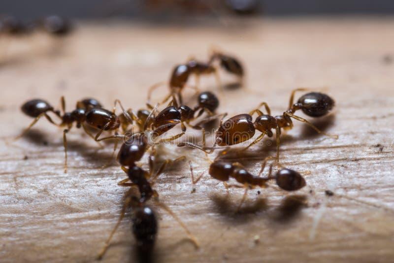 红色进口的火蚂蚁 库存照片