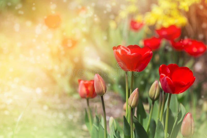 红色郁金香和明亮的五颜六色的背景 春天…上升了叶子,自然本底 免版税库存图片