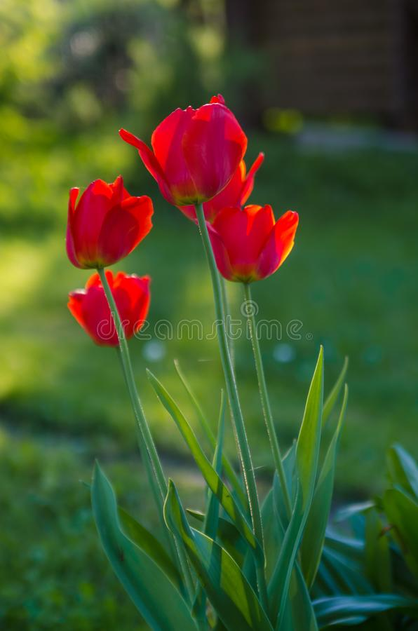 红色郁金香在庭院里,背后照明 免版税库存图片
