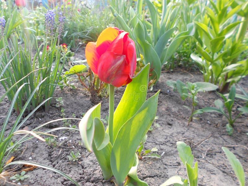 红色郁金香在母亲` s庭院里 图库摄影