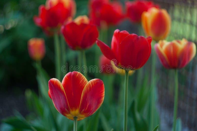 红色郁金香在绿色庭院里在春天 免版税库存图片