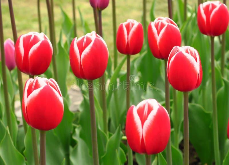 红色郁金香在荷兰调遣 红色郁金香领域 红色郁金香景色 红色郁金香领域在荷兰 免版税库存图片