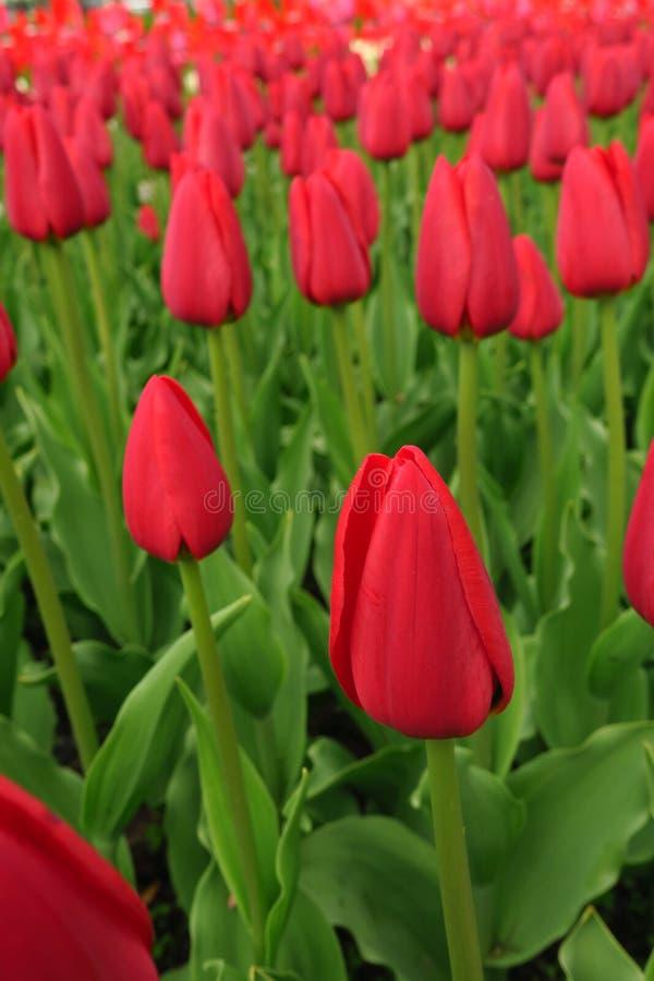 红色郁金香在荷兰调遣 红色郁金香领域 红色郁金香景色 红色郁金香领域在荷兰 免版税图库摄影