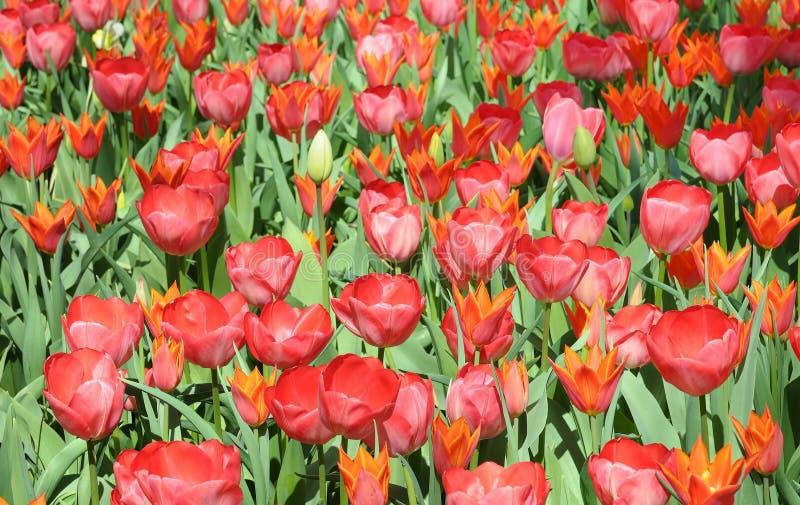 红色郁金香在晴天 库存照片