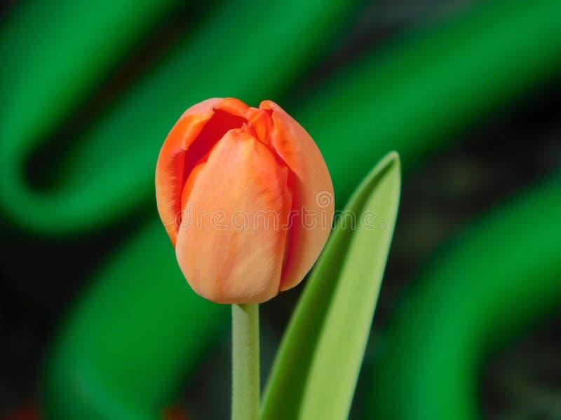 红色郁金香开花并且增长 免版税库存照片