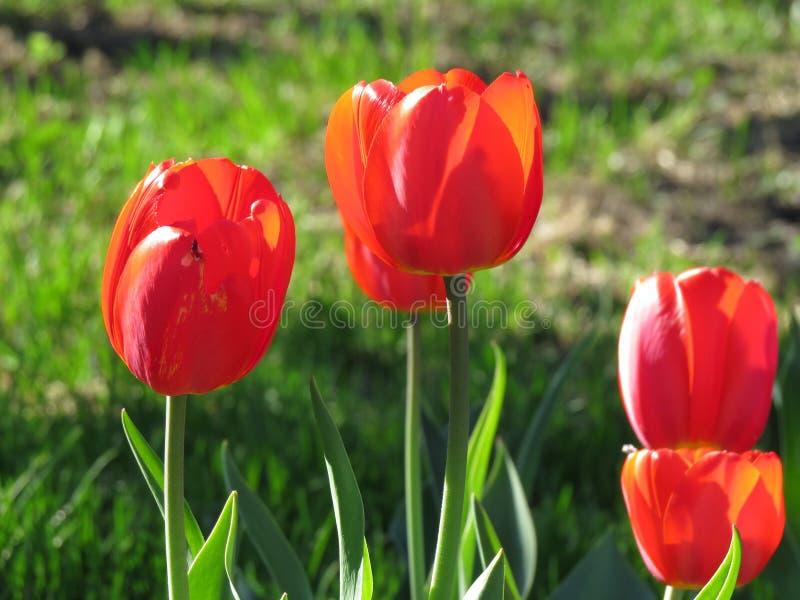 红色郁金香开花紧密与郁金香背景样式 免版税库存照片