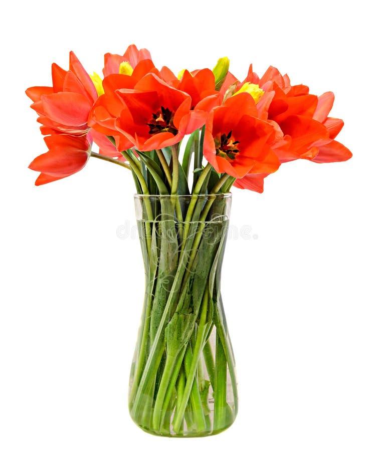 红色郁金香开花,植物布置(花束),在一个透明花瓶,白色背景 免版税库存照片