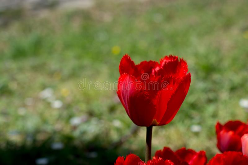 红色郁金香本质上 免版税库存照片