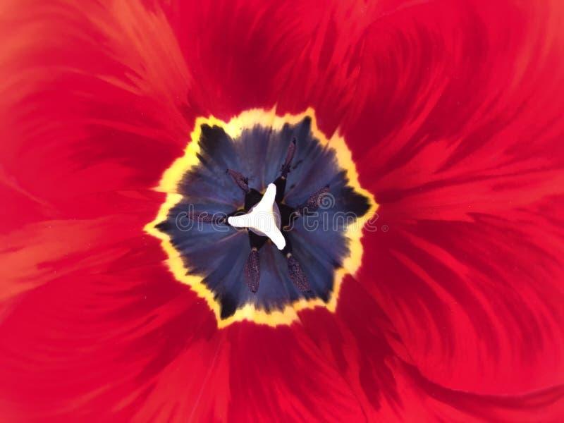 红色郁金香特写镜头 开花的郁金香 与黄色中部的美丽的红色花 免版税图库摄影