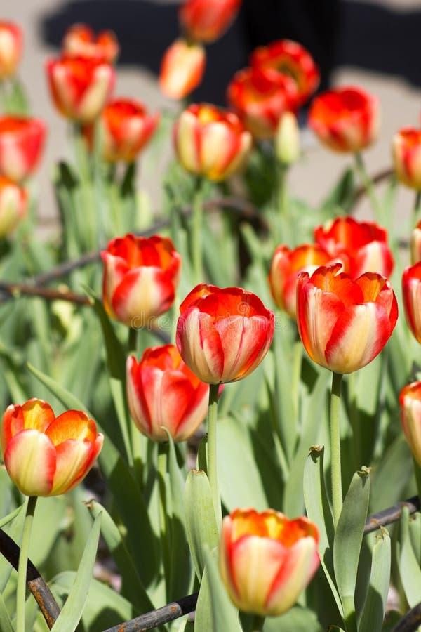 红色郁金香花在春天 库存照片