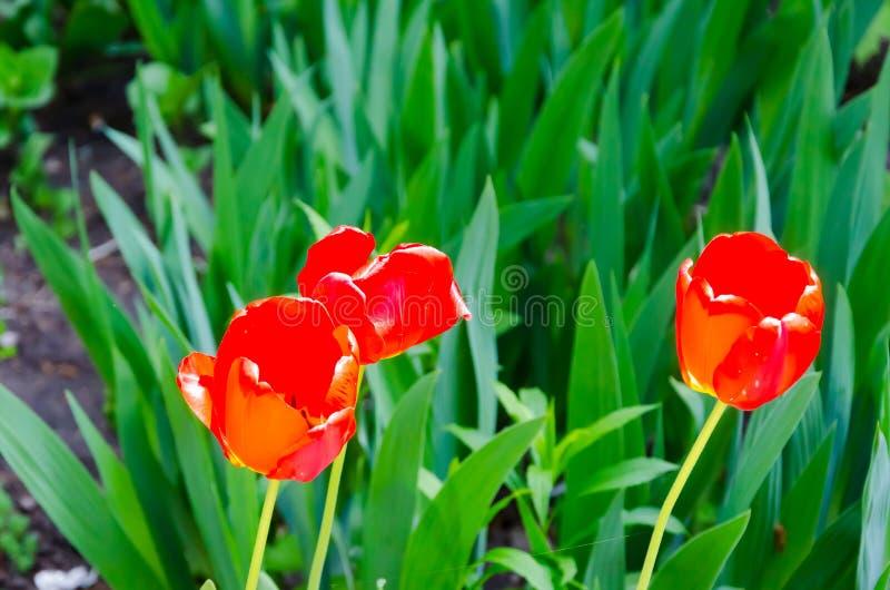 红色郁金香花有绿色叶子和草背景 库存照片