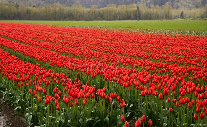 红色郁金香许多行  库存照片