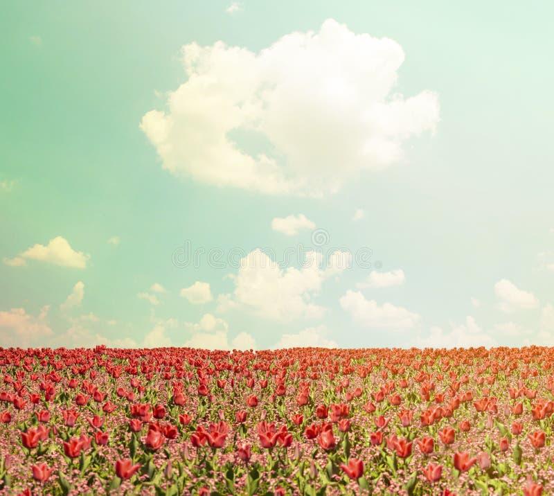 红色郁金香领域和天空蔚蓝风景 库存照片
