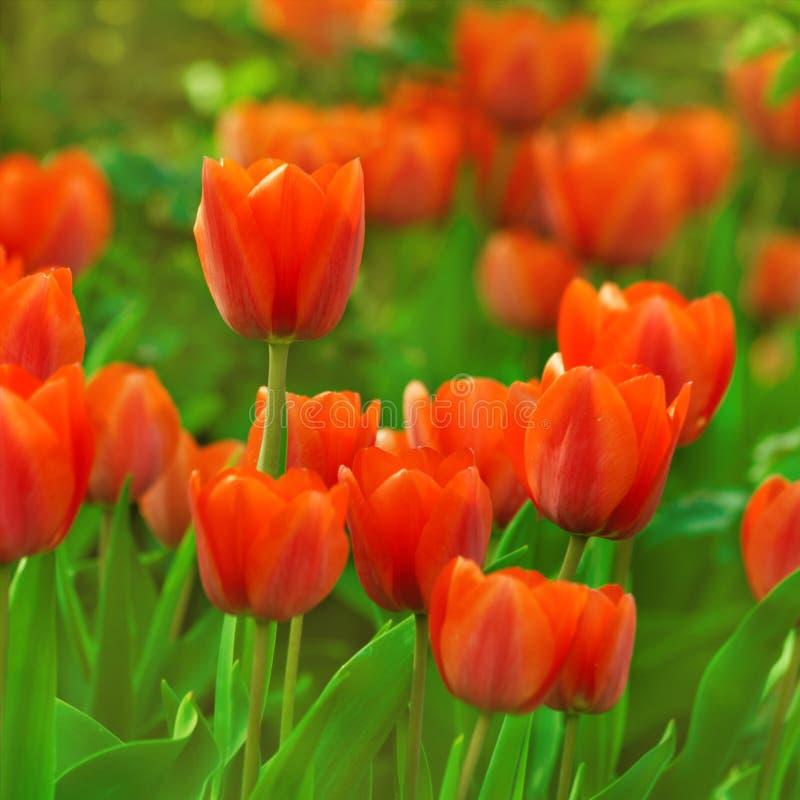 Download 红色郁金香 库存照片. 图片 包括有 植物群, 室外, 关闭, 夏天, 复活节, 本质, 红色, 模式, 叶子 - 30325364