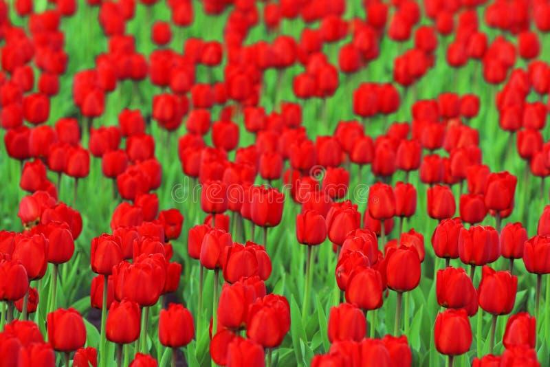 红色郁金香 图库摄影