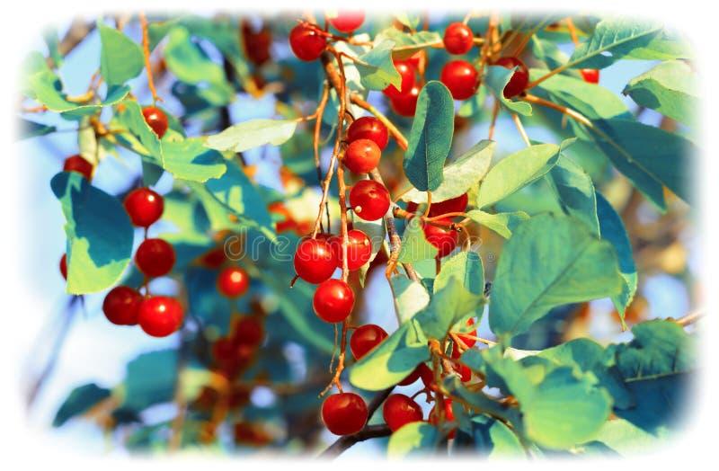 红色野樱桃在庭院里 绿松石定了调子图象 库存照片