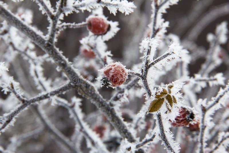 红色野玫瑰果在霜下的冬天 库存图片