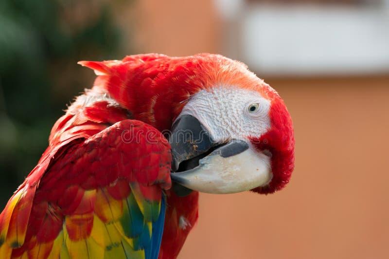 红色金刚鹦鹉抓 免版税图库摄影