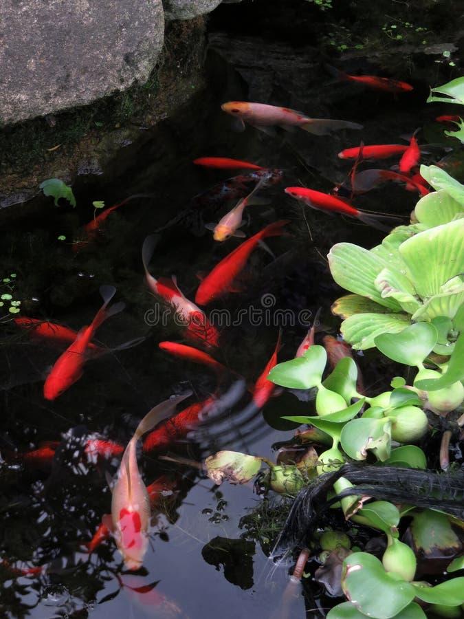 红色金鱼在一个小池塘 库存图片