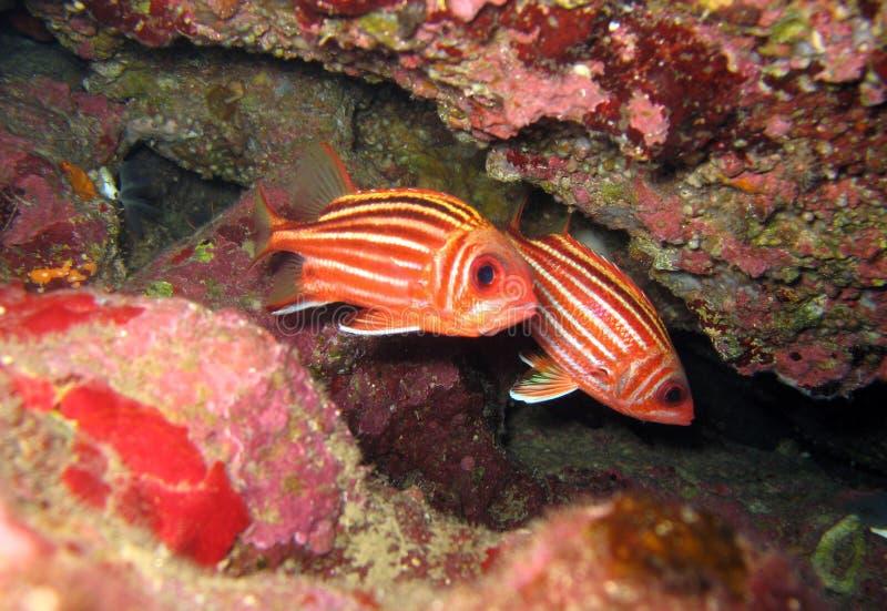 红色金鳞鱼 免版税图库摄影